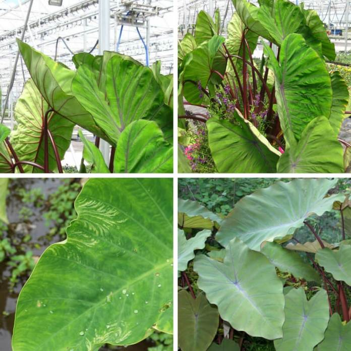 Pineapple Princess Elephant Ear (Colocasia esculenta 'Pineapple Princess' PPAF)