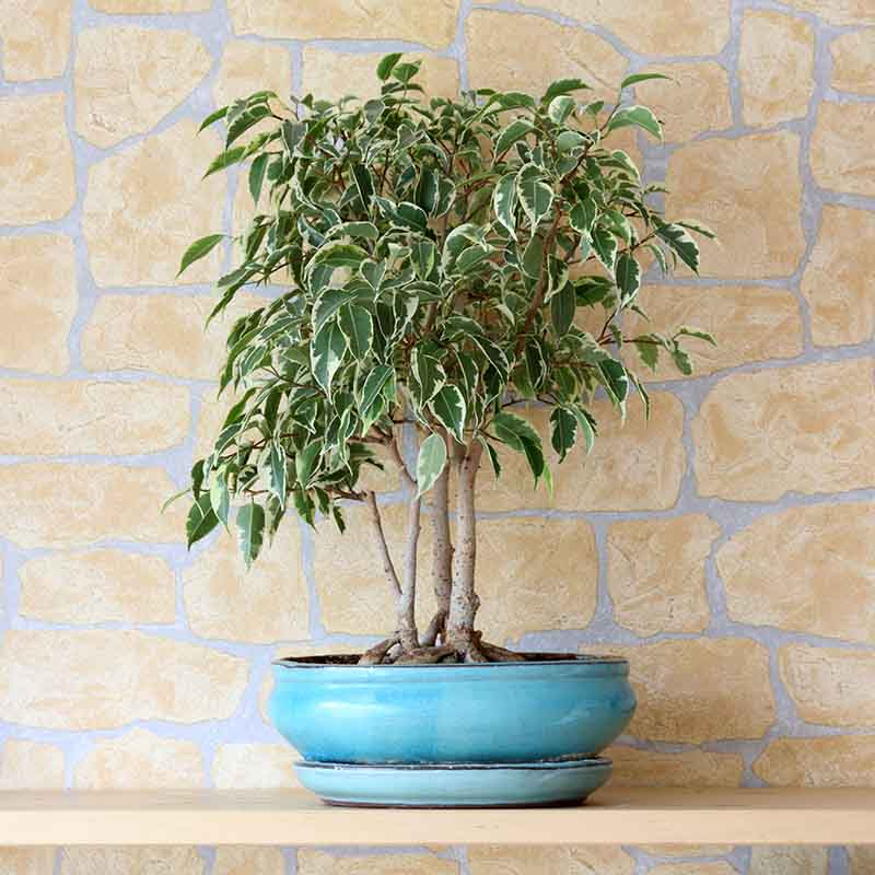 Weeping Fig (Ficus benjamina)