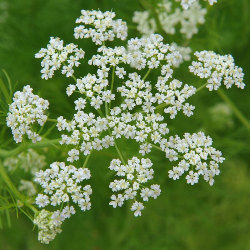 Care of the caraway Plants