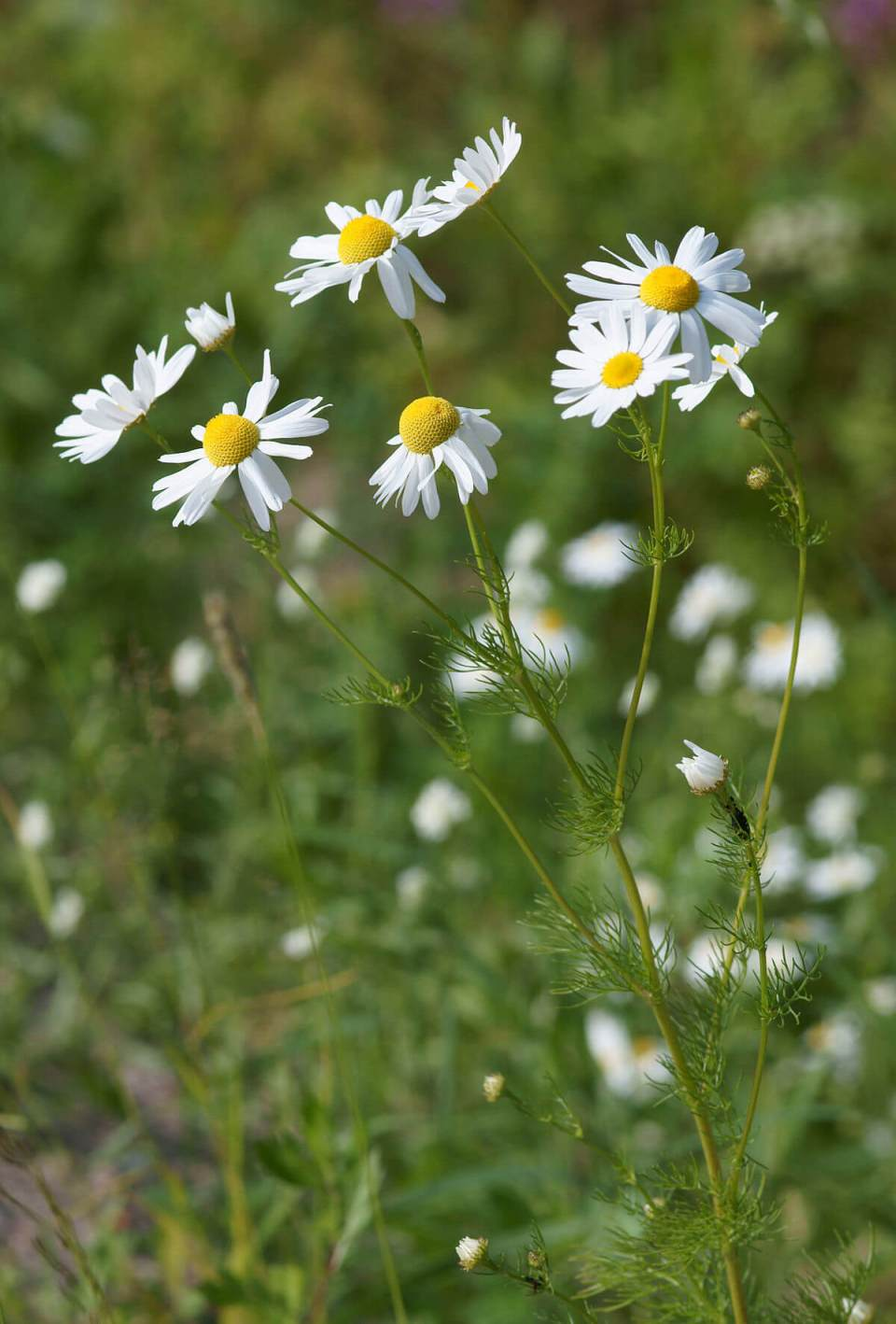 Growing Chamomile plants