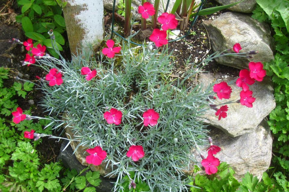 Dianthus 'Wicked Witch' (Dianthus gratianopolitanus 'Wicked Witch')