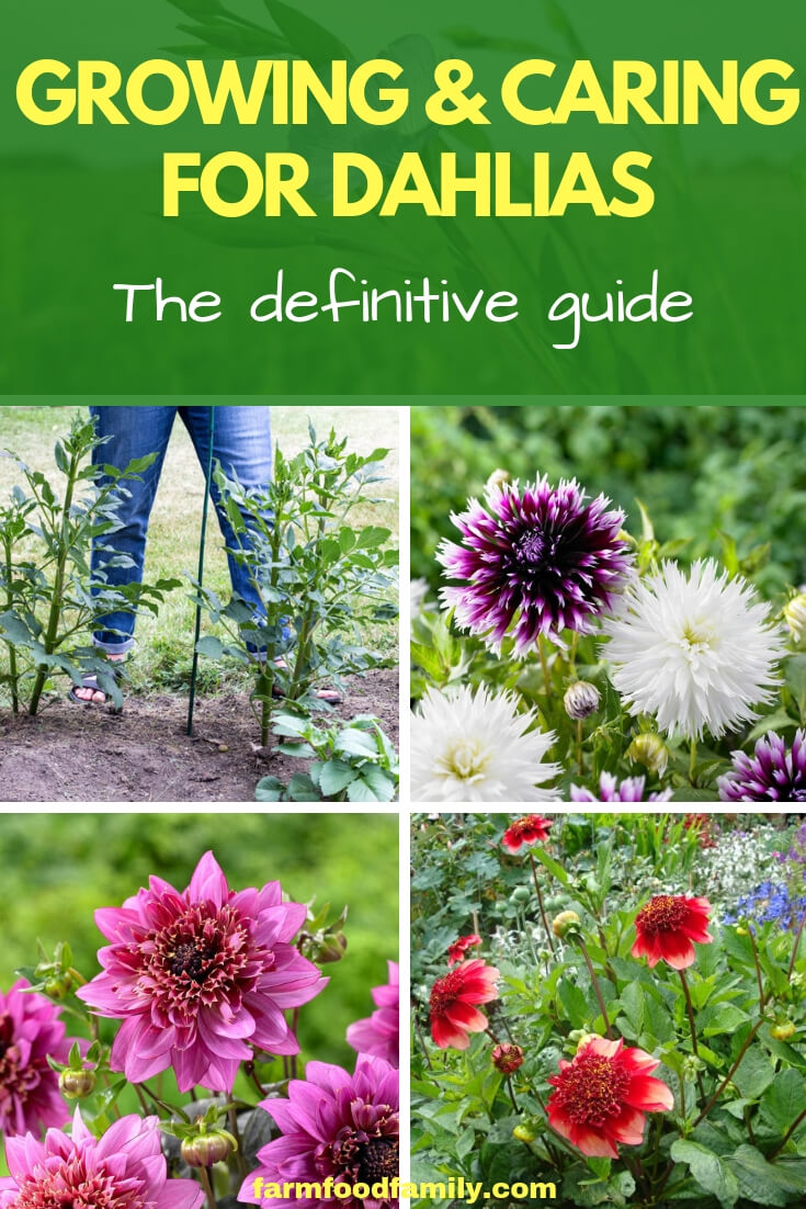 Growing and Caring for Dahlia Flowers
