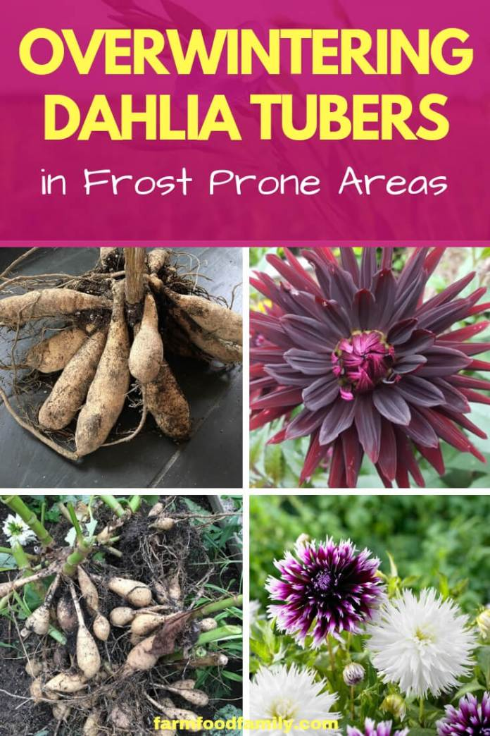 Overwintering Dahlia Tubers in Frost Prone Areas