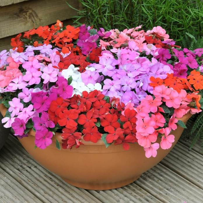 Impatiens for Long-Lasting Blooms in Shade