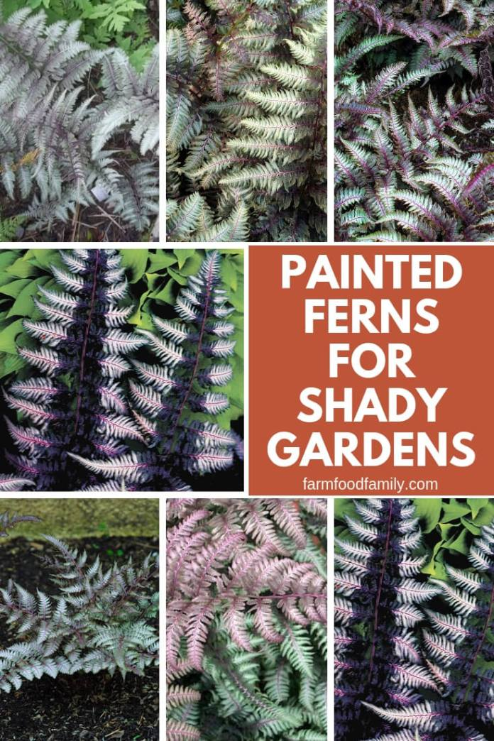 Painted Ferns for Shady Gardens