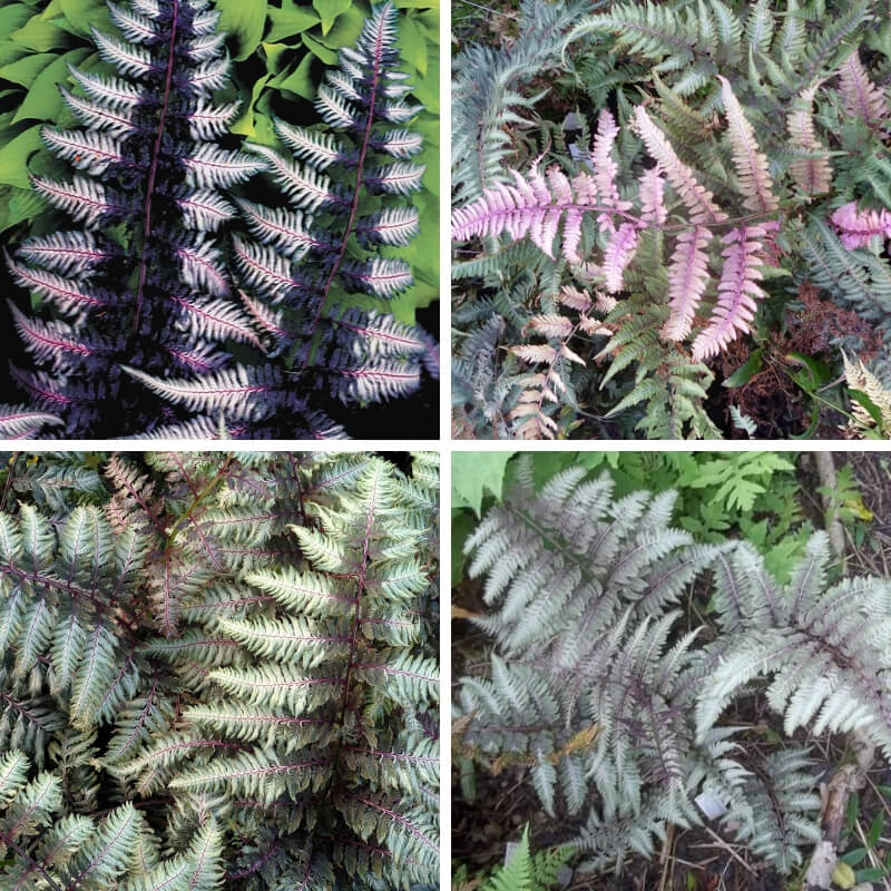 Painted Ferns in Shade Landscaping Plans