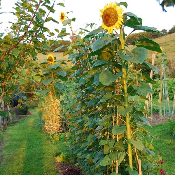 Runner Beans and Sunflowers