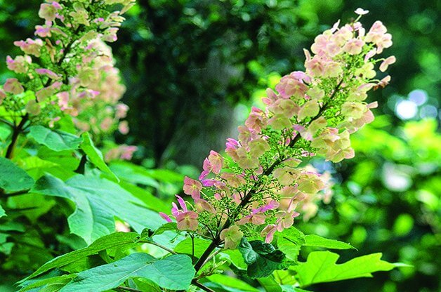 Shrubs for shade