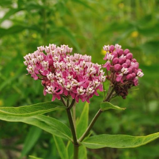 Butterfly weeds