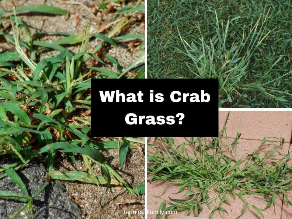 What is crab grass