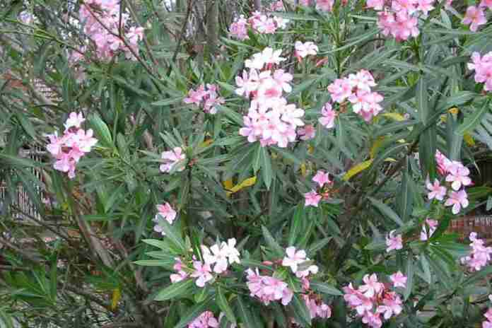 Oleander Poisoning in Dogs and Cats