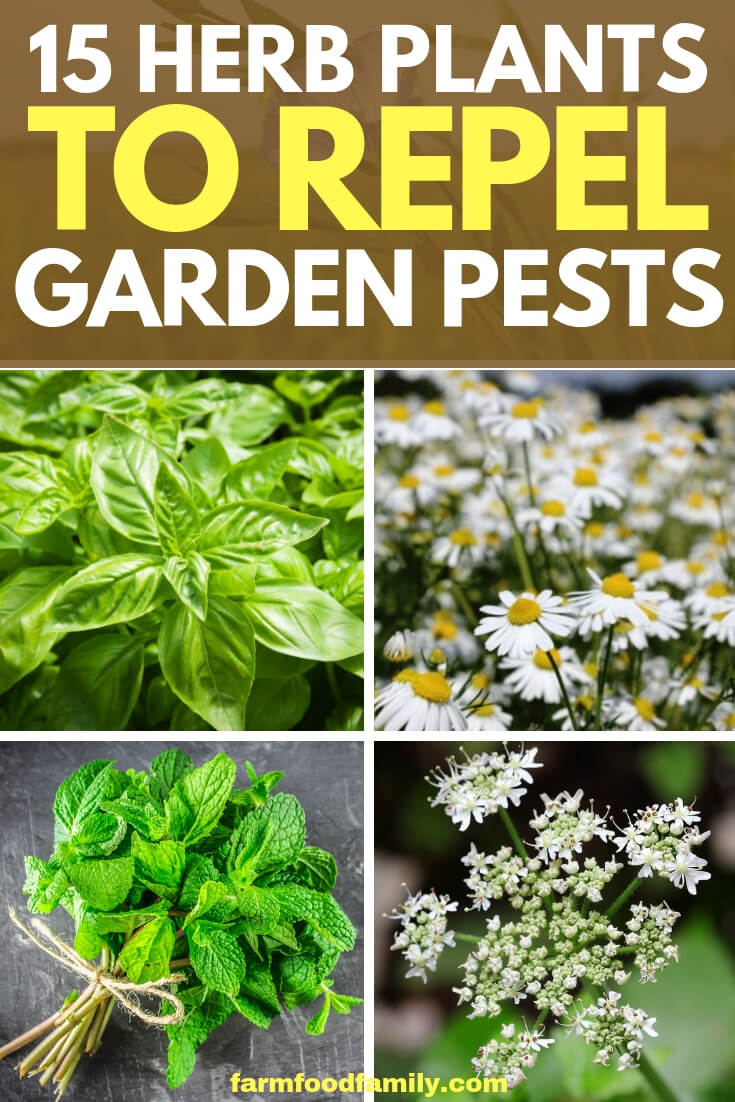 15 Herb Plants To Repel Garden Pests