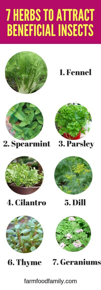 Herbs to Plant to Attract Beneficial Insects