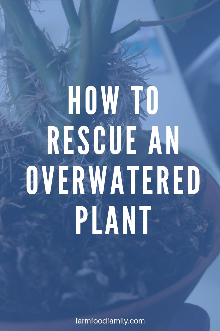 How to rescue overwatered plant