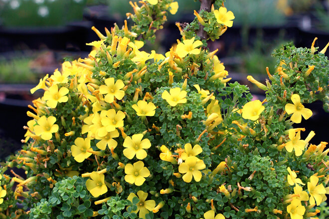 Oxalis Brazil (Silver and Gold)
