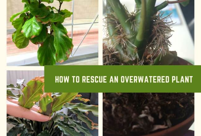 How to Rescue an Overwatered Plant
