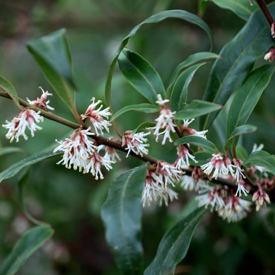 Sarcococca hookeriana var humilis (sometimes just S. humilis) – Dwarf Sweetbox (or Sweetbox)