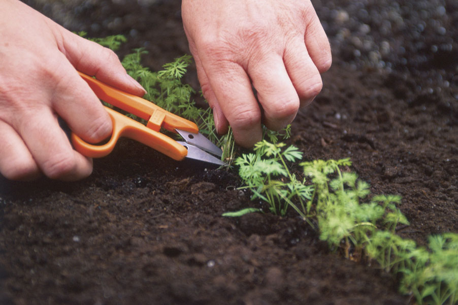 Thinning Vegetables