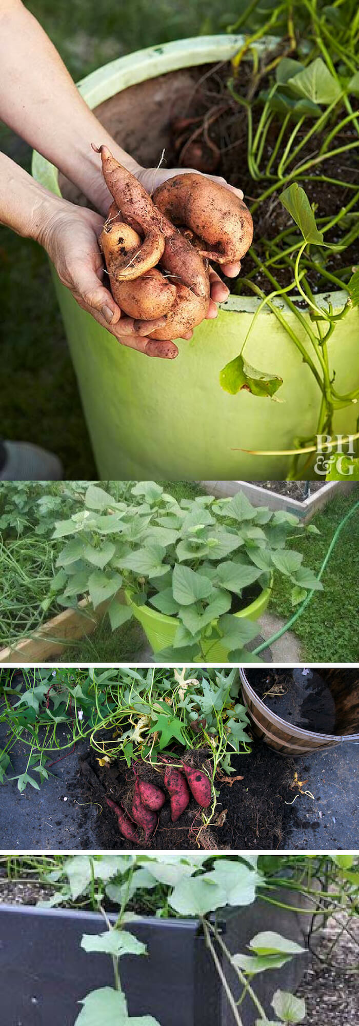 Tips for growing sweet potatoes in pots
