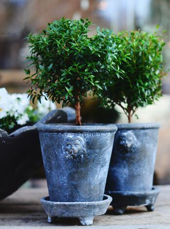 how to make a topiary tree in pot for beginners DIY Myrtle Topiary in Lion Pot