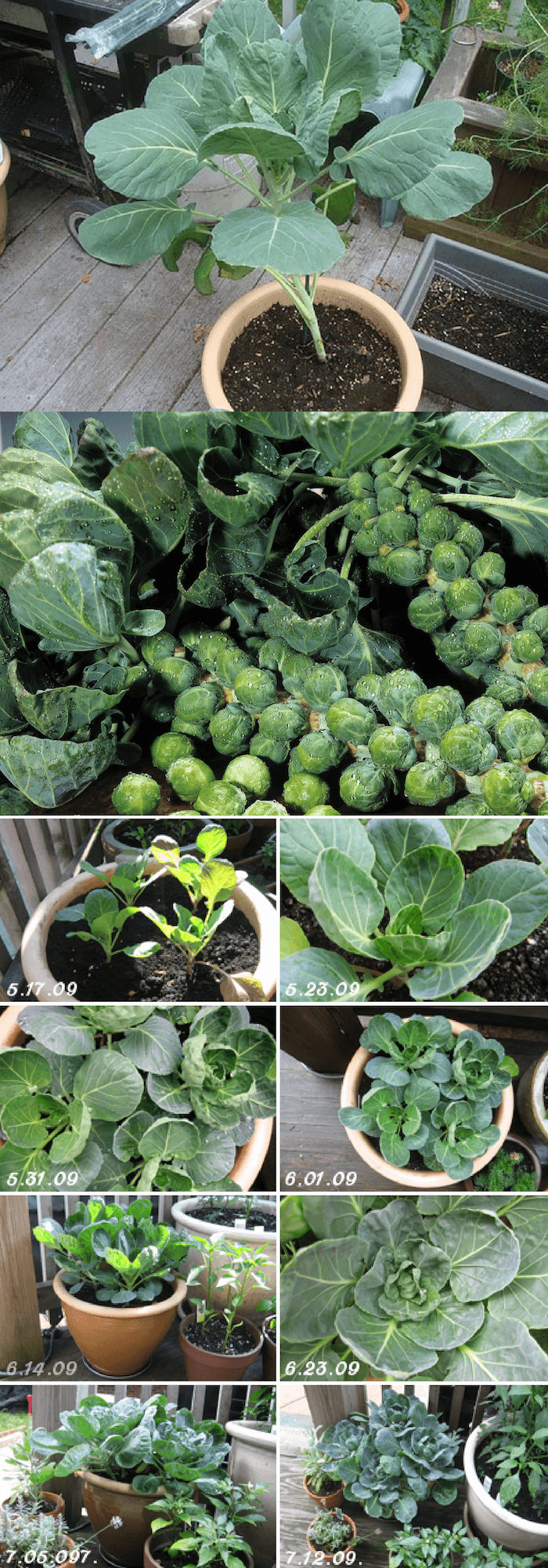 How To Grow Brussels Sprout In A Pot
