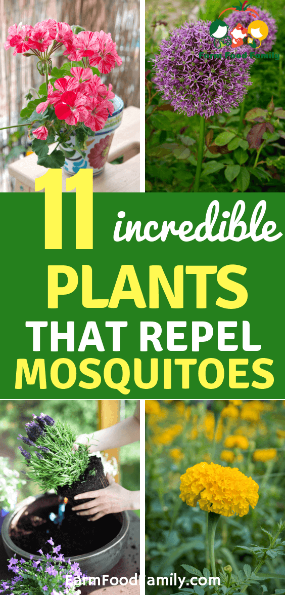 Natural Mosquito Repellents: 11 [BEST] Plants That Repel Mosquitoes