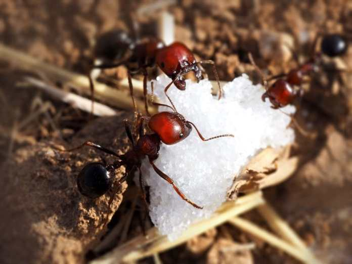 What is sugar ant?