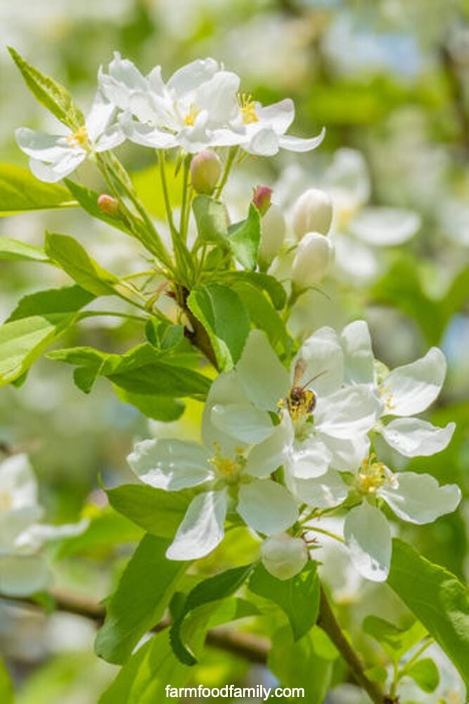 Types of crabapples: Snowdrift crabapple (Malus 'Snowdrift')