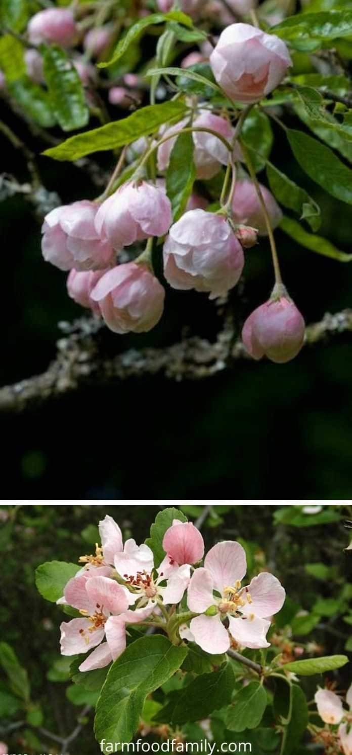 Types of crabapples: Prince Georges crabapple (Malus ioensis 'Prince Georges')
