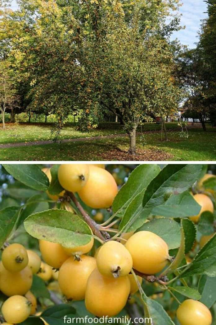 Types of crabapples: Golden Hornet crabapple (Malus x zumi 'Golden Hornet')