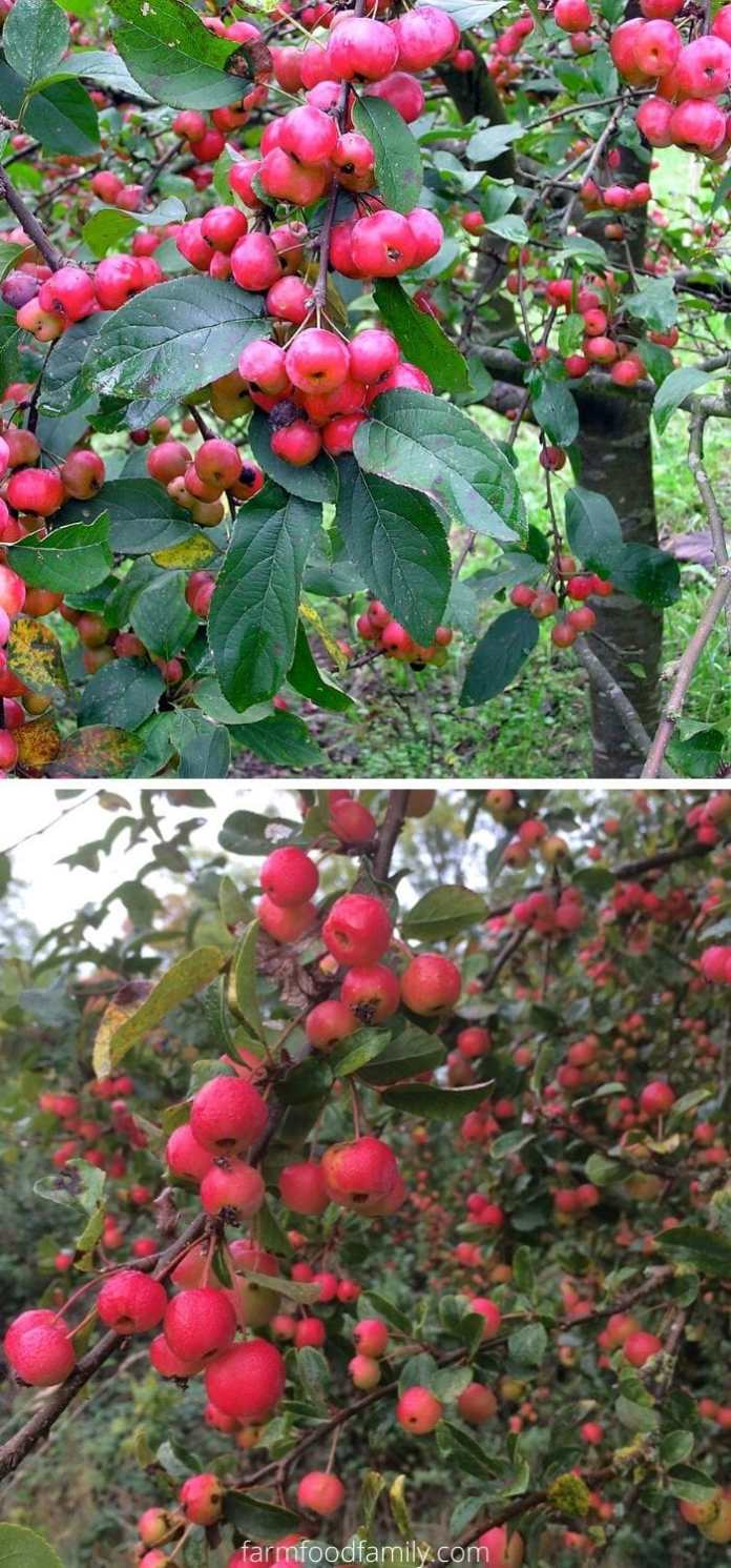 Types of crabapples: Red Sentinel crabapple (Malus x robusta 'Red Sentinel')