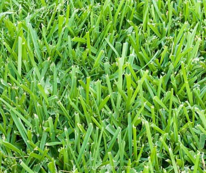 How to grow and care for St. Augustine grass