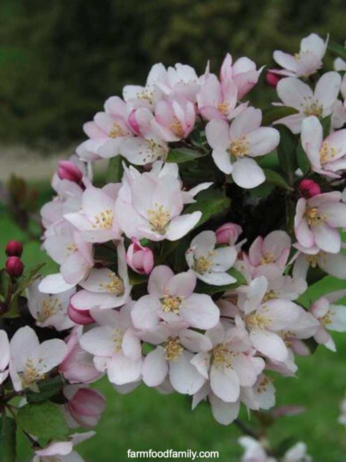 Types of crabapples: Camelot crabapple (Malus 'Camzam' Camelot)