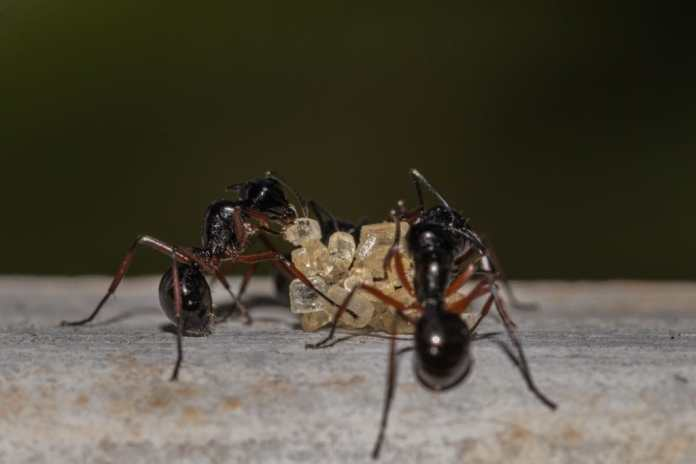 How To Get Rid Of Sugar Ants Permanently: 4 Proven Methods