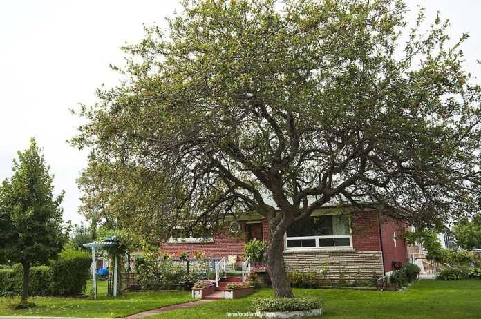 How big does a crabapple tree get?