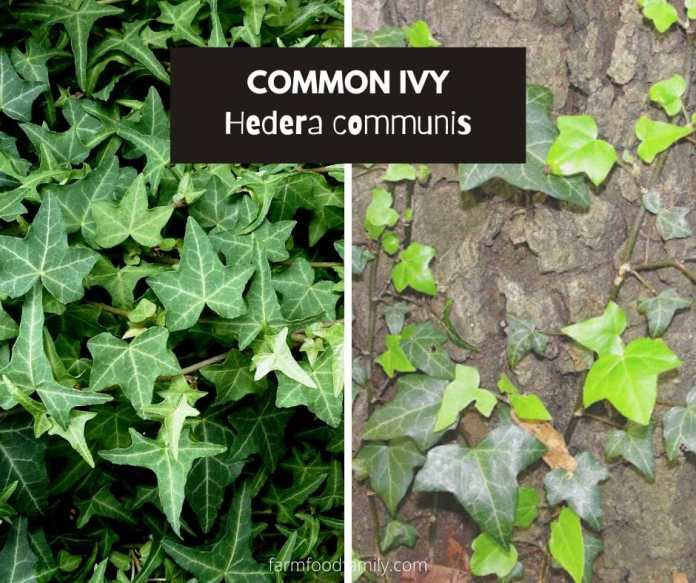Common ivy (Hedera helix; Hedera communis)
