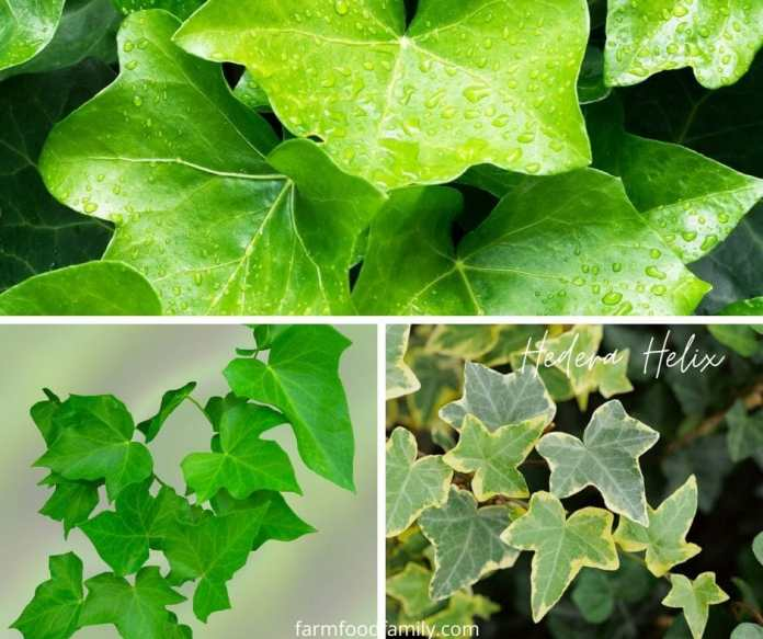 Hedera Helix plant