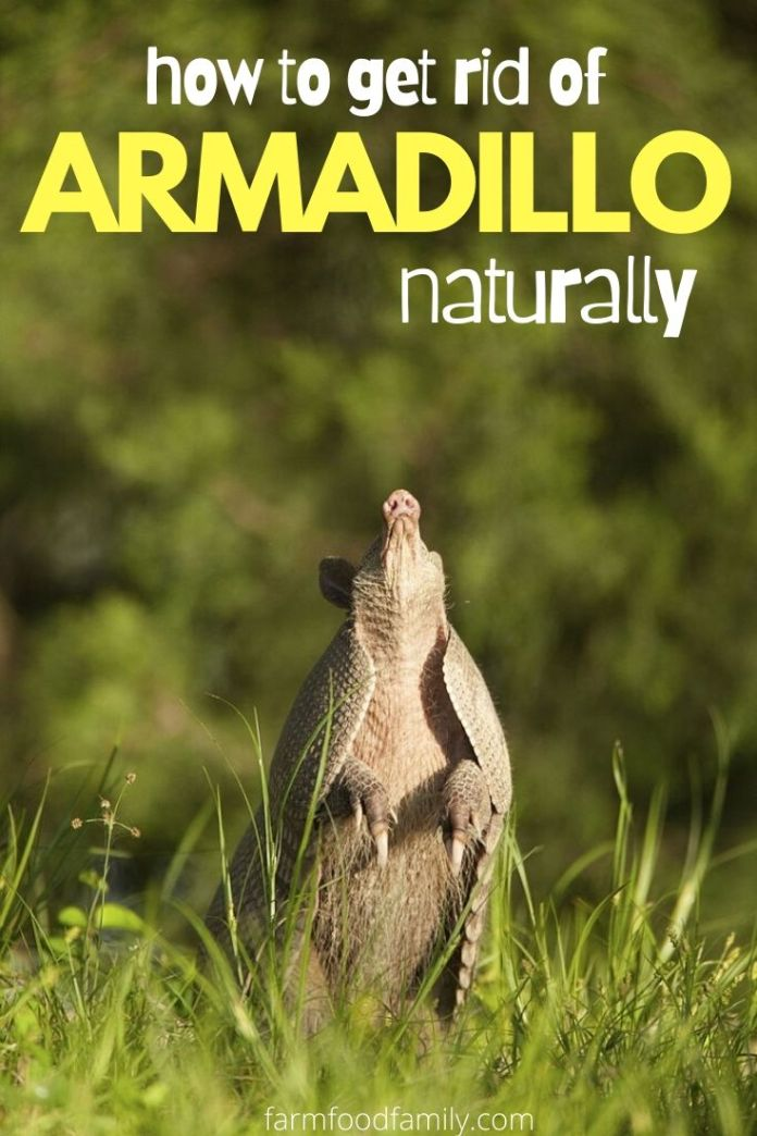 How to get rid of armadillo naturally