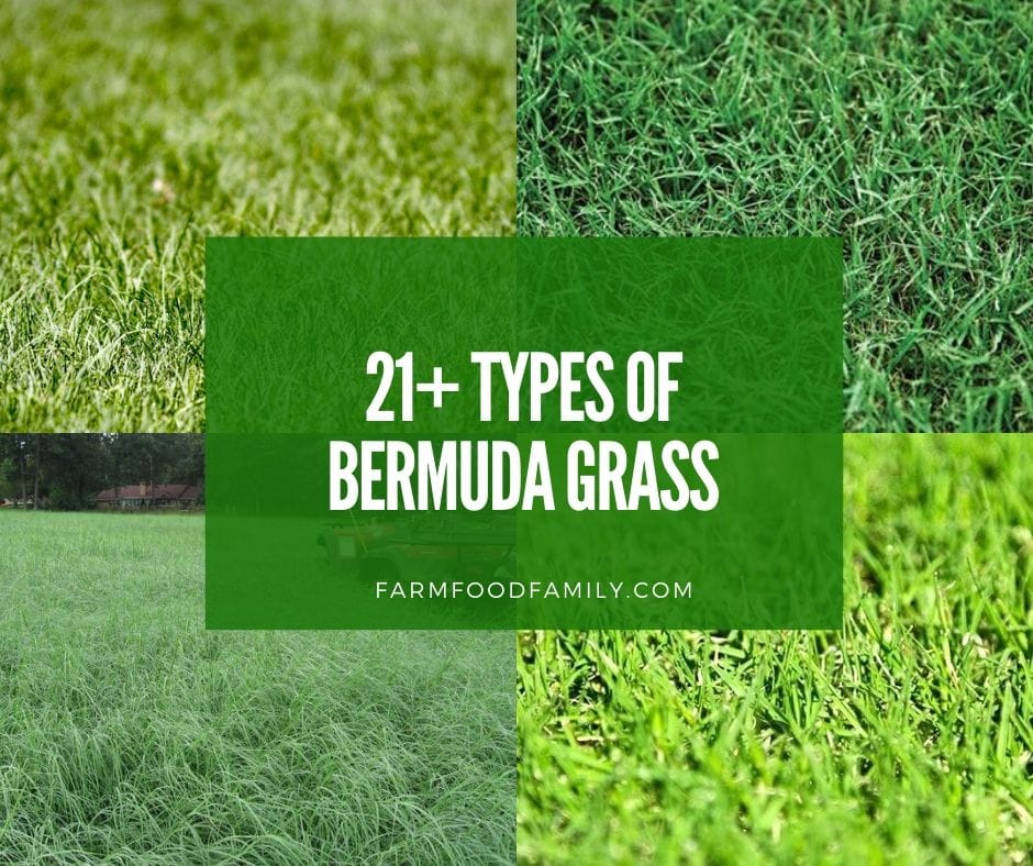 21 Types Of Bermuda Grass For Lawn, Hay - Is Bermuda a Good Grass?