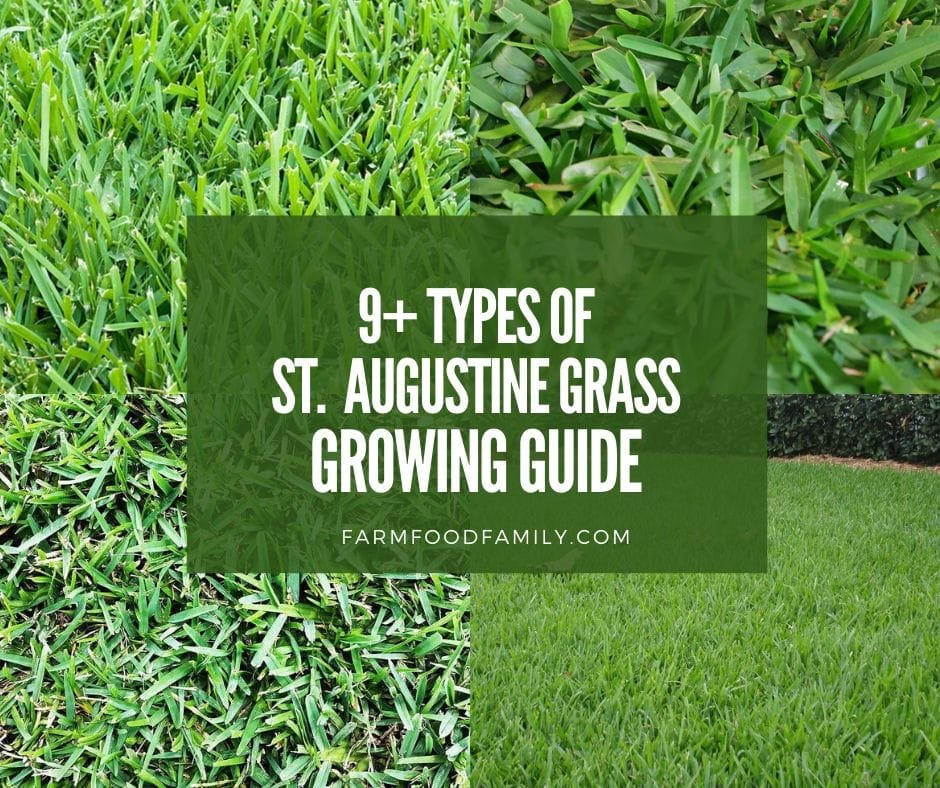 9 Types Of St. Augustine Grass - Growing and Care Guide (With Pictures)