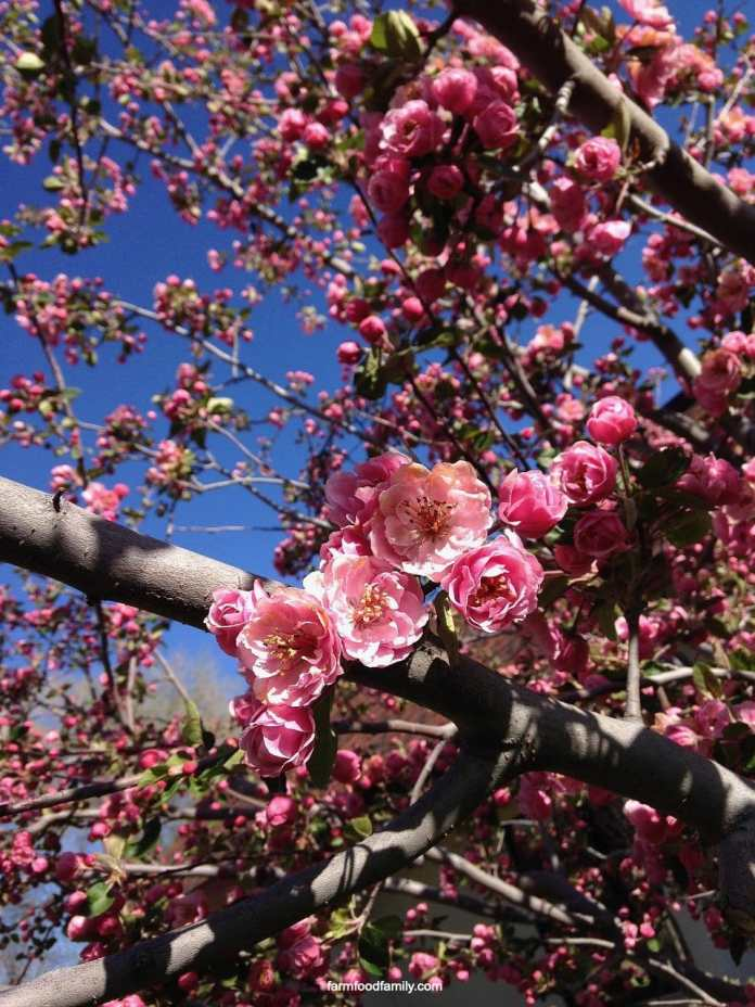 What is crabapple?