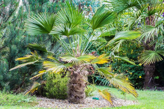 Windmill Palm (Trachycarpus Wagnerianus, Chusan palm, Chinese windmill palm)