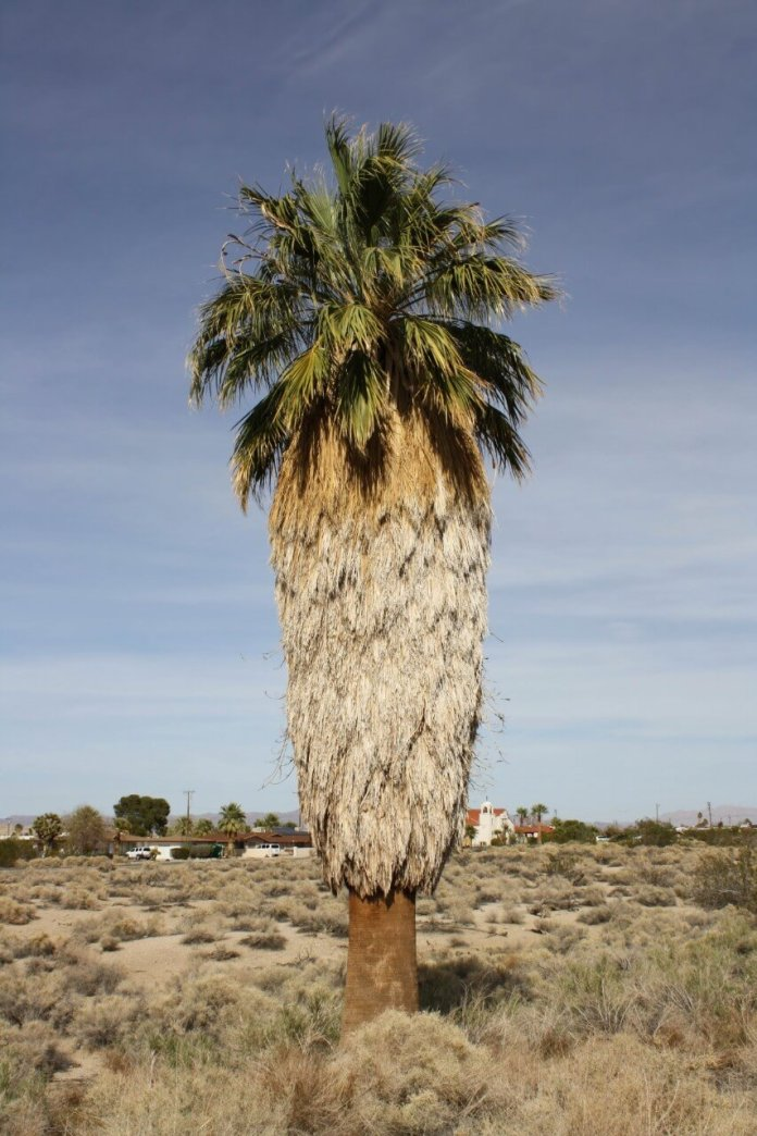 Types of palm trees in California