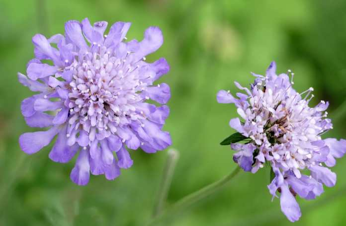 Pincushion flower (Scabiosa caucasica)