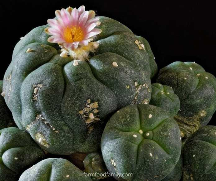 Peyote (Lophophora Williamsii)
