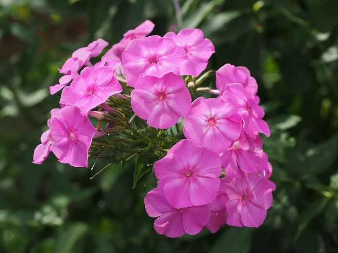 Phlox (Jacob's Ladder)