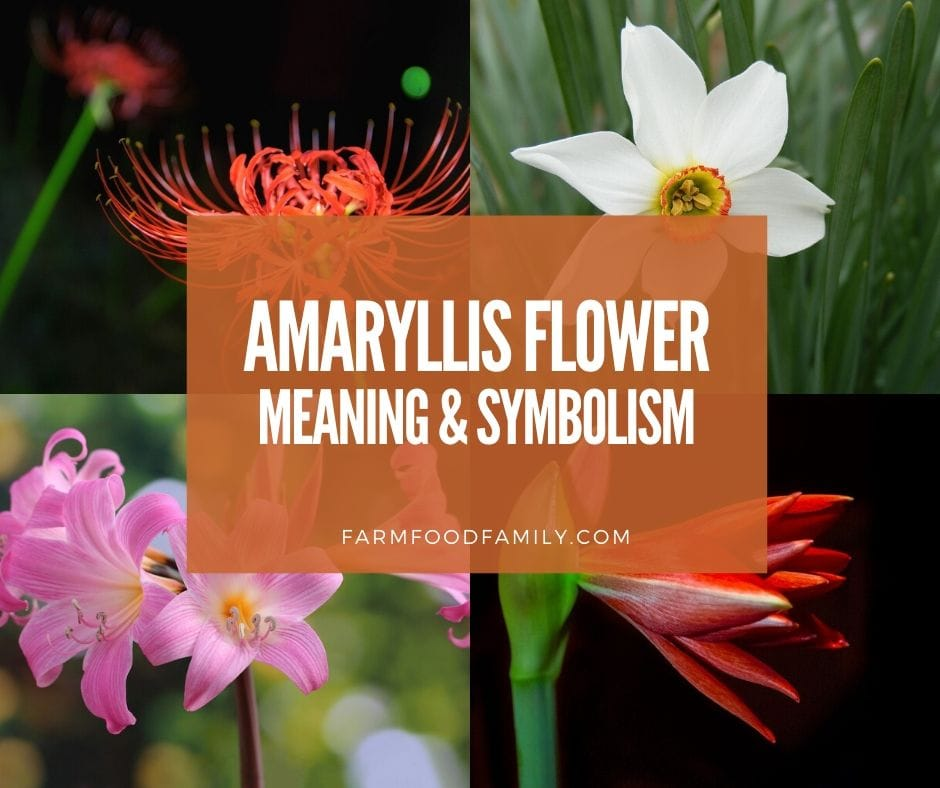 Amaryllis Flower Facts Meaning Symbolism A Symbol Of Love