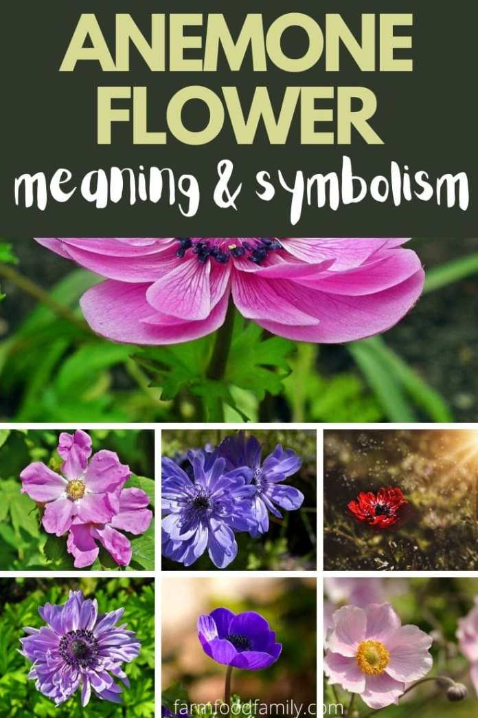 Anemone flower color, meaning and symbolsim