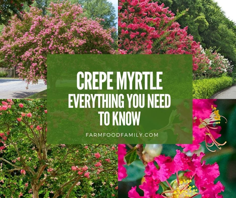 Crepe Myrtle (Lagerstroemia, Crapemyrtle): 5 Reasons To Grow