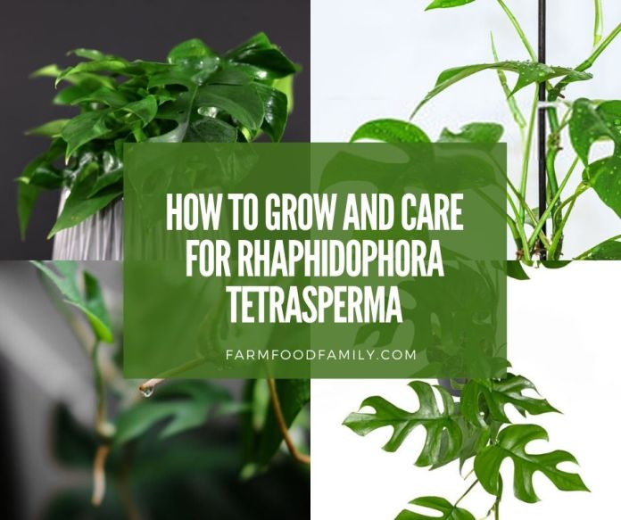 Growing and care for Rhaphidophora Tetrasperma